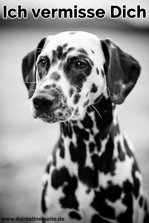 Ein trauriger Dalmatiner