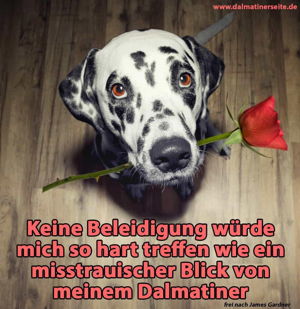 Ein Dalmatiner hält eine Rose