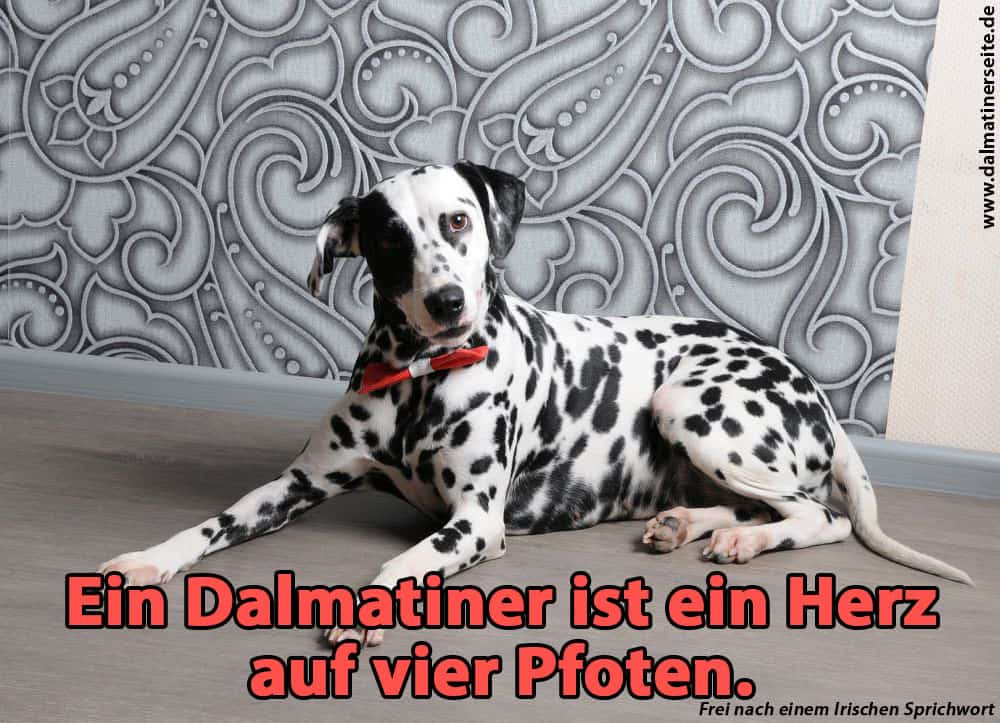 Ein Dalmatiner liegt auf dem Boden