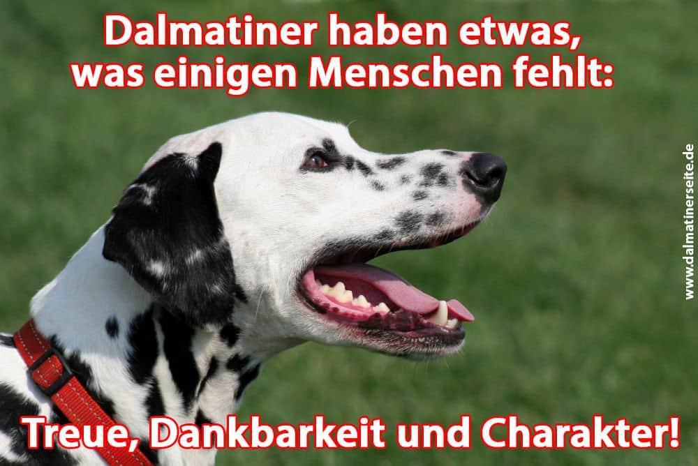 Ein Dalmatiner gähnt