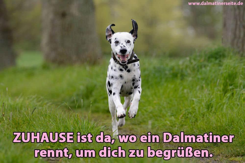 Ein Dalmatiner läuft im Wald