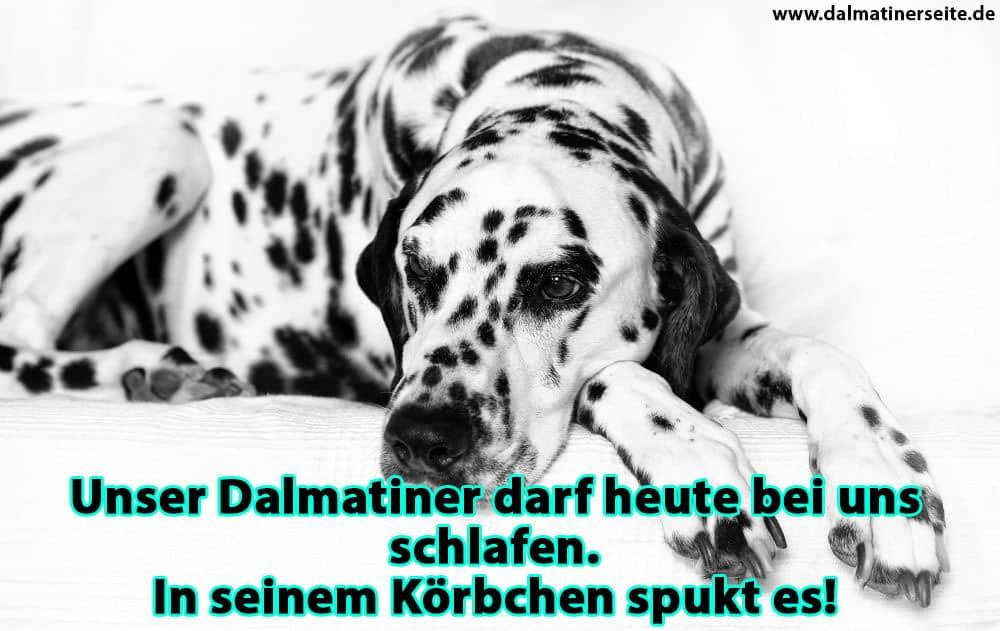Ein Dalmatiner liegt auf dem Sofa
