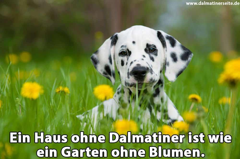 Ein Dalmatiner sitzt im Garten