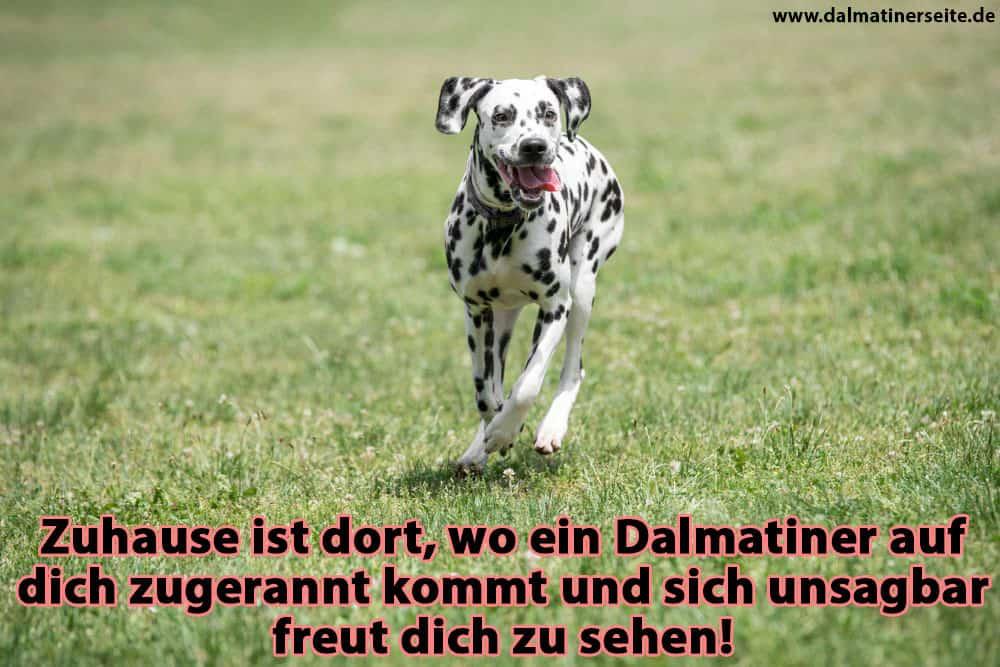 Ein Dalmatiner läuft auf dem Rasen