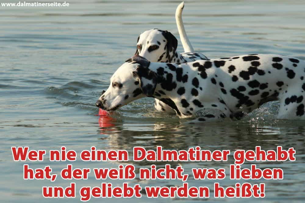 Zwei Dalmatiner spielen im Flusswasser