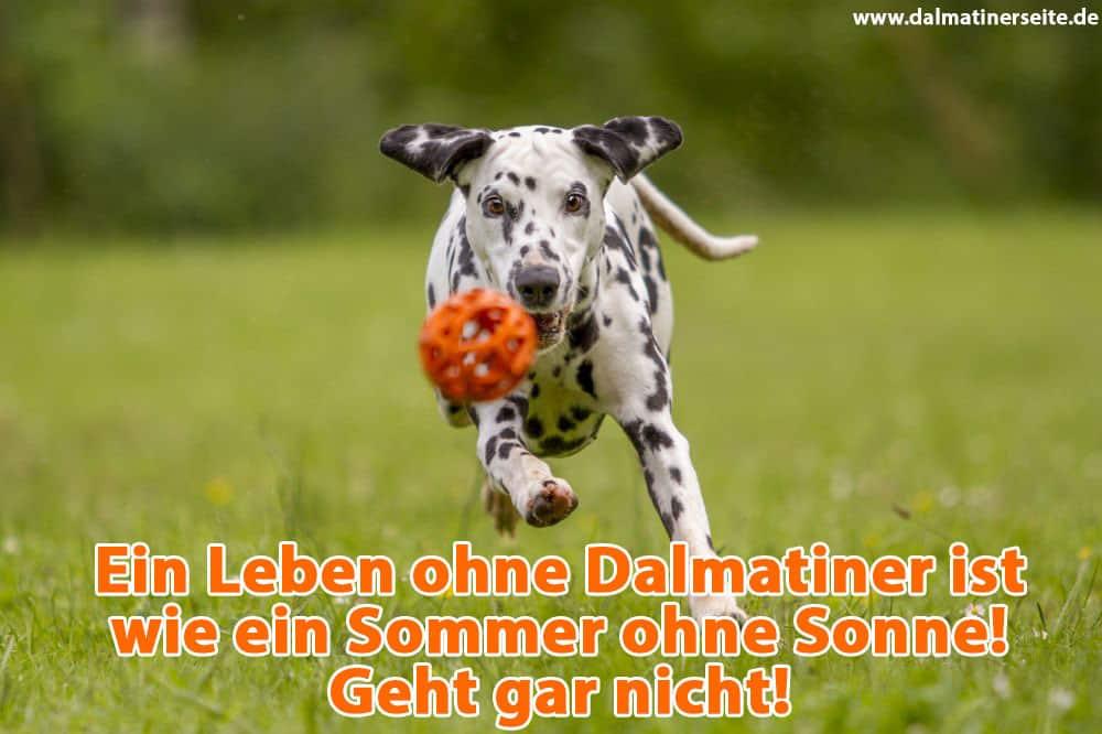 Ein Dalmatiner läuft nach seinem Spielzeug