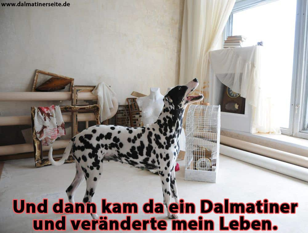 Ein Dalmatiner bellte im Zimmer