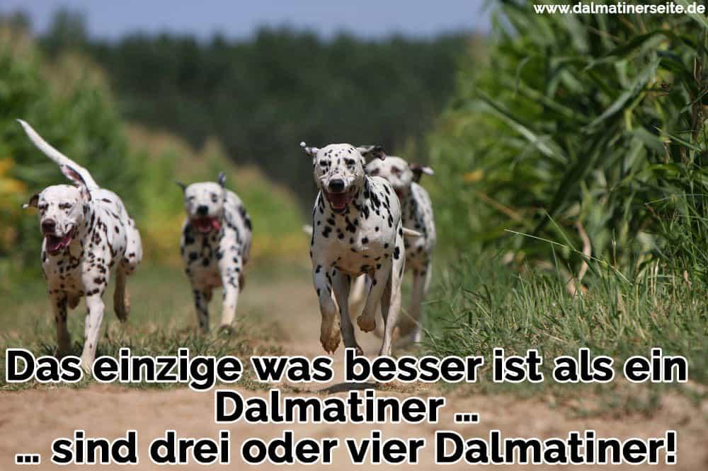 Vier Dalmatiner laufen