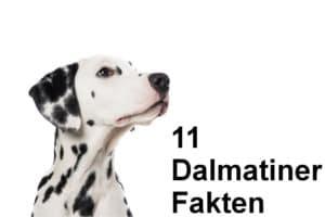 Fakten über den Dalmatiner