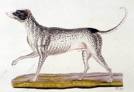 T.Goetz: ein Bild von einem Dalmatiner von 1853