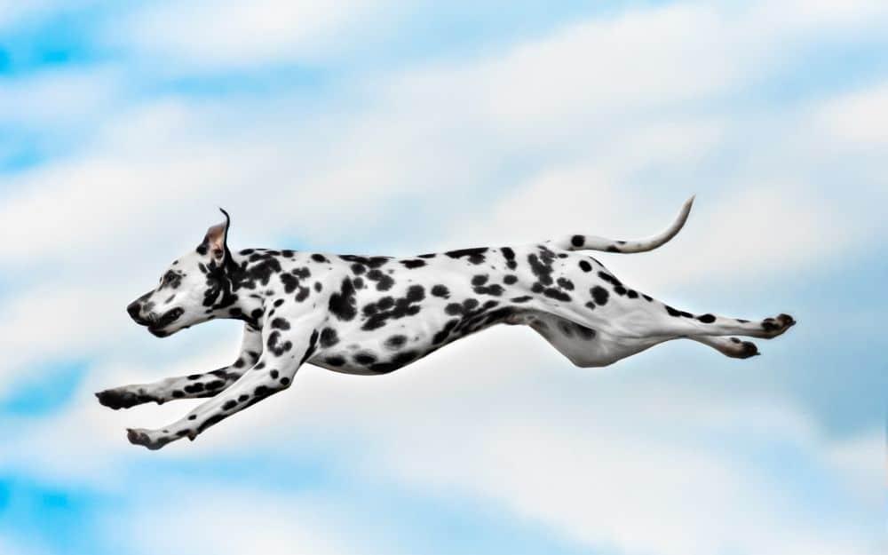 Dalmatiner springt in der Luft
