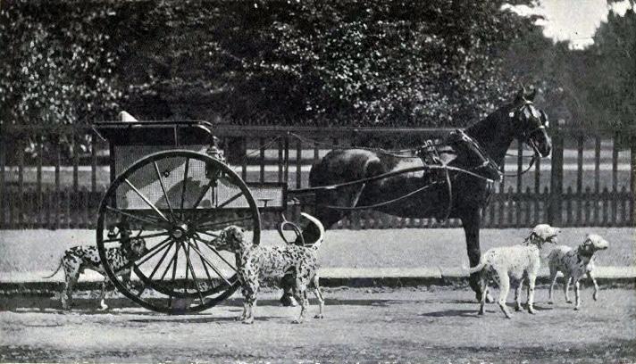 Dalmatiner als Kutschenbegleithunde um 1902