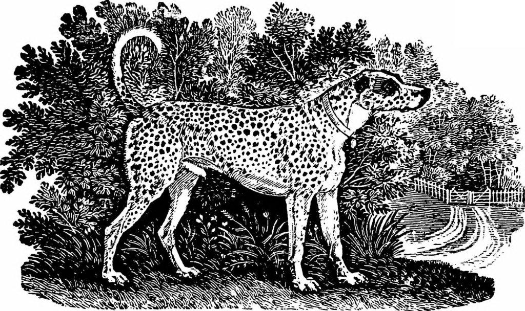 Dalmatiner in einem Hundebuch von 1909
