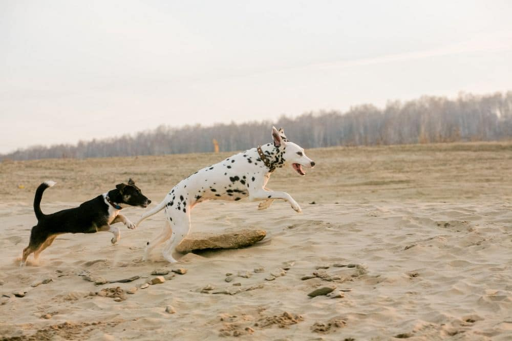 Dalmatiner aggressiv mit anderen Hunden