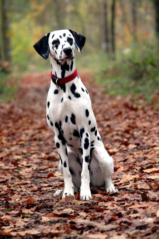 Hübsche Dalmatinerdame auf Waldweg