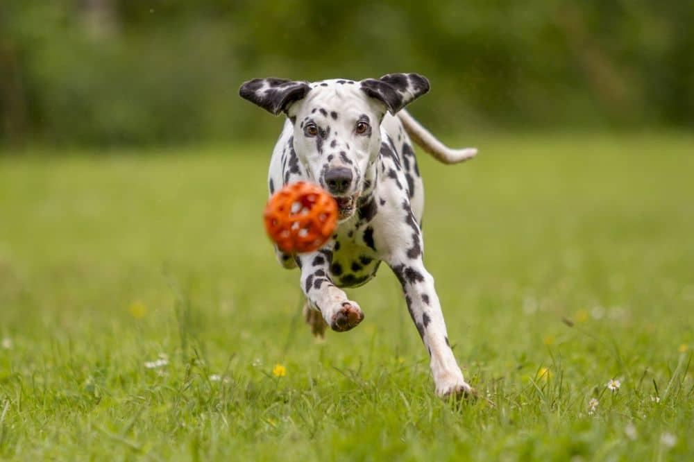 Dalmatiner beim Fangen eines Balls