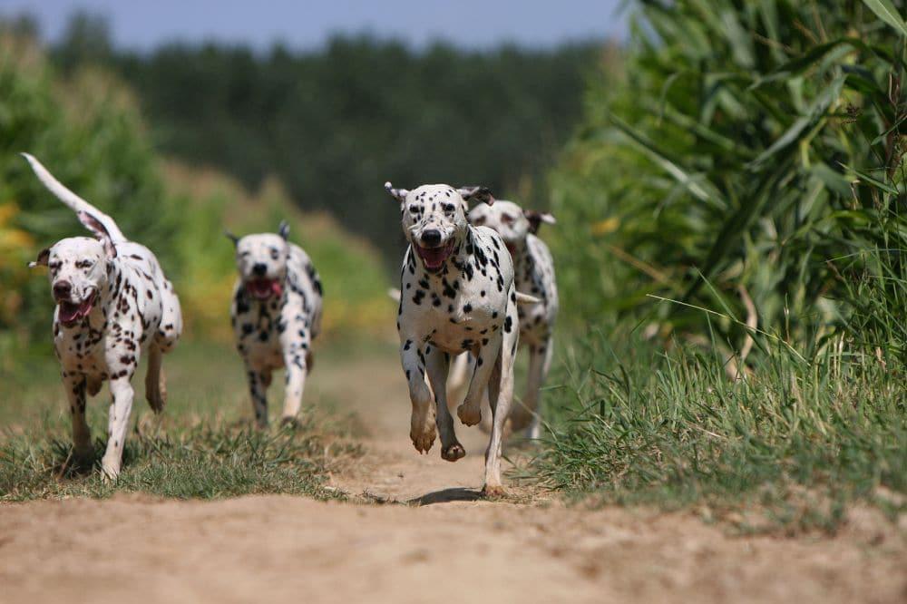 Vier Dalmatiner laufen auf einem Weg