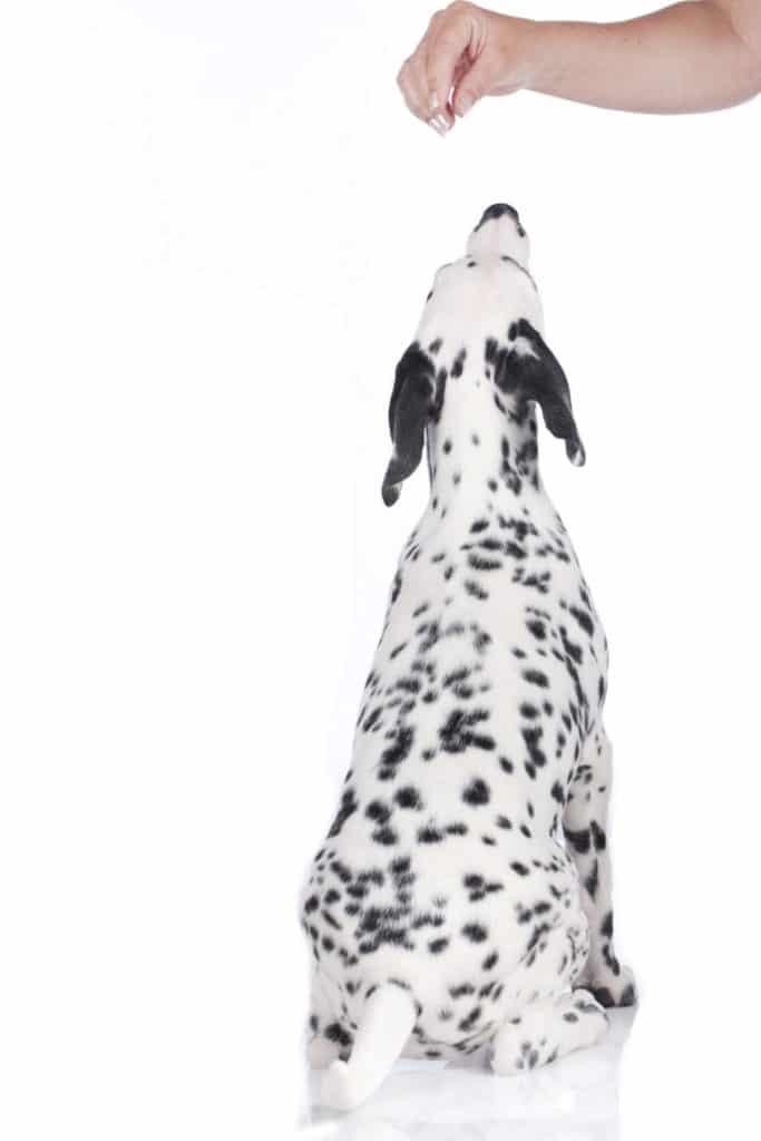 Dalmatiner Welpe von hinten erhält Leckerli von Hand isoliert