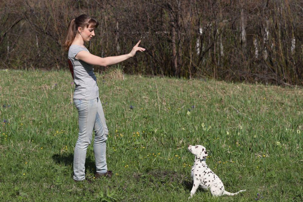 Erziehung Dalmatiner