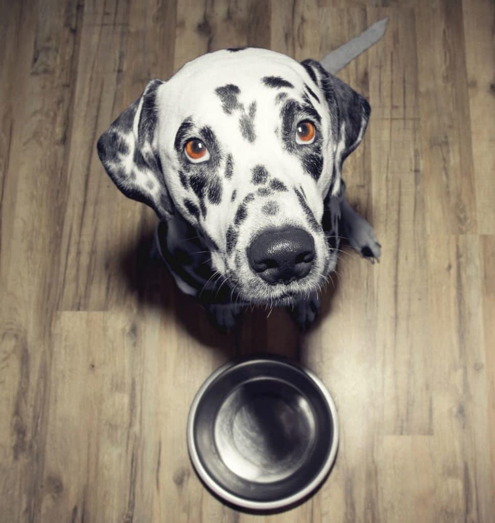 Ernährung und Futter für den Dalmatiner