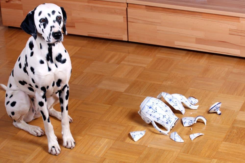 Dalmatiner Hund mit kaputter Kanne schaut schuldbewußt