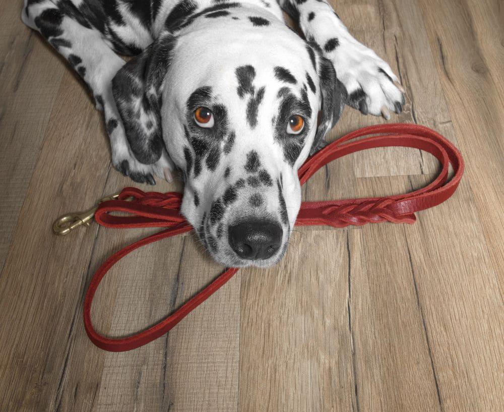 Dalmatiner mit Hundeleine