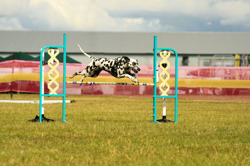 Dalmatiner beim Agility