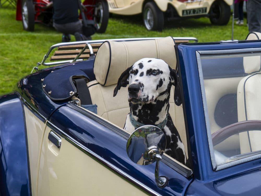 Dalmatiner im Auto