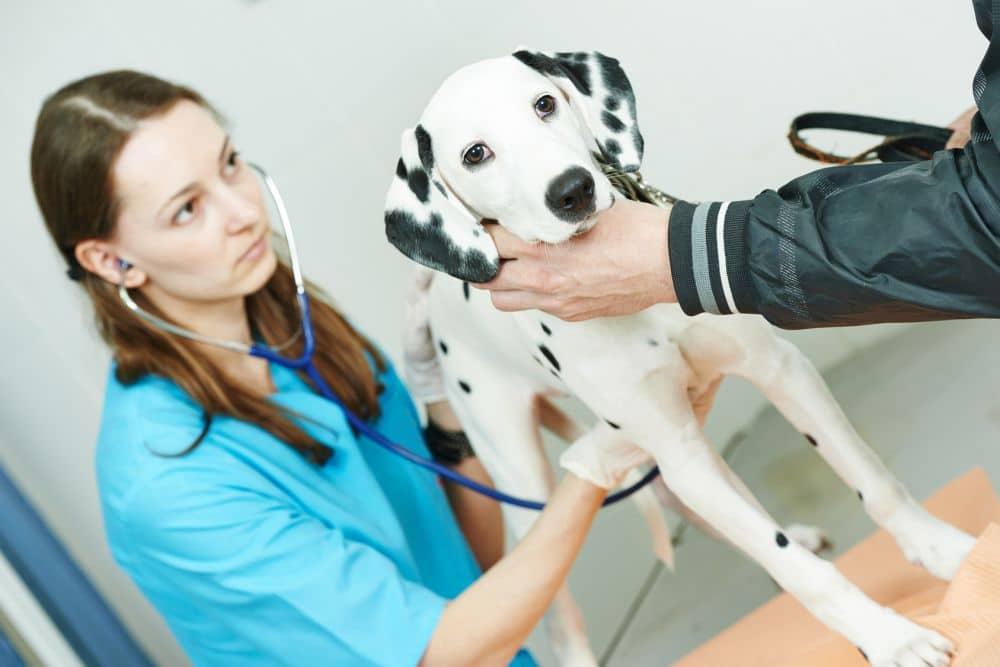 Dalmatiner Krankheiten - Tierarzt