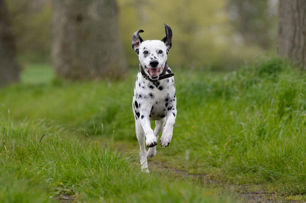 Lebenserwartung Dalmatiner erhönen