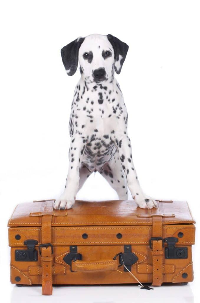 Dalmatiner welpe auf Reisekoffer