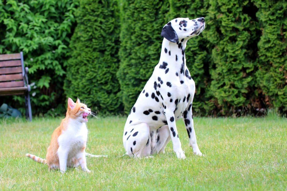 Dalmatiner und Katze wartenauf Futter im Garten