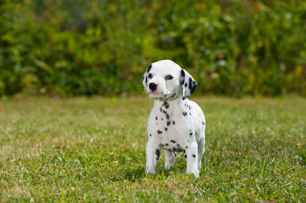 Dalmatinerwelpe im Gras