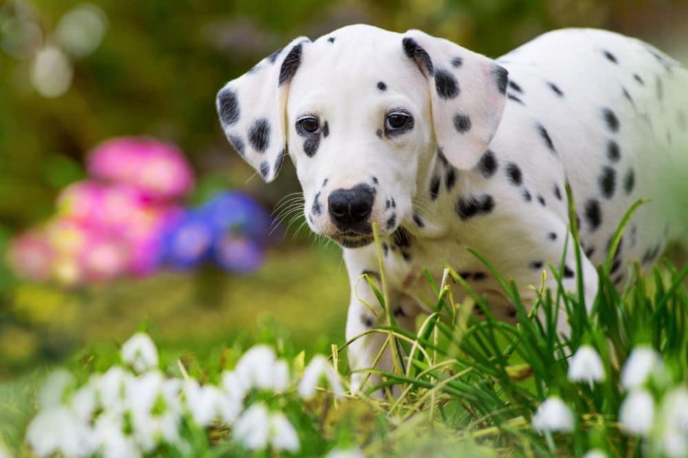 Dalmatinerwelpe neugierig