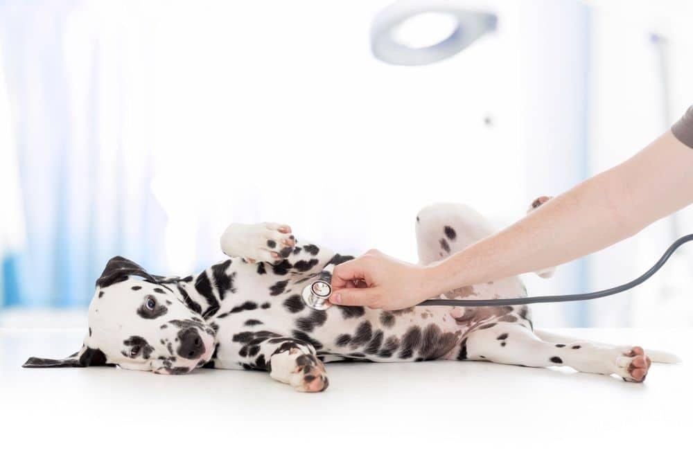 Dalmatiner Welpe beim Tierarzt
