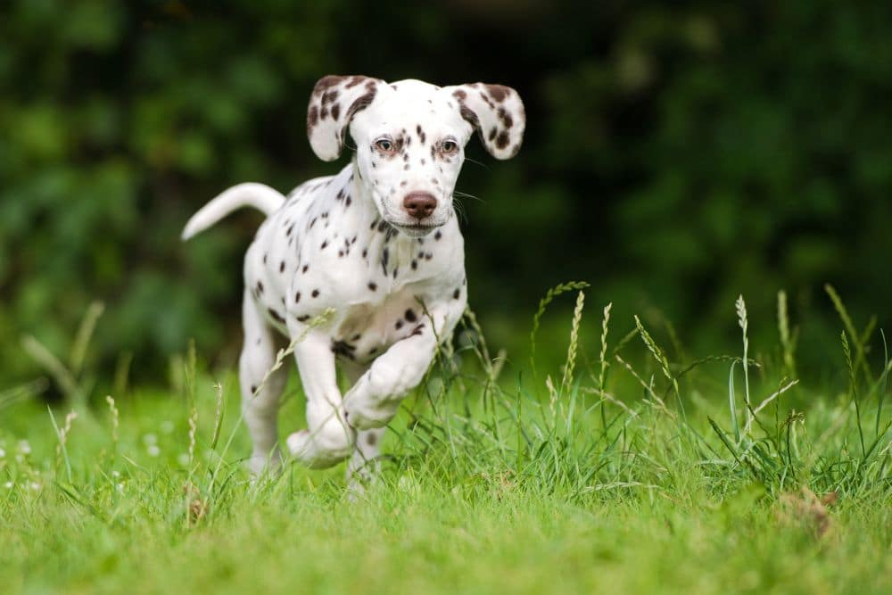 Wie schnell wächst ein Dalmatiner?