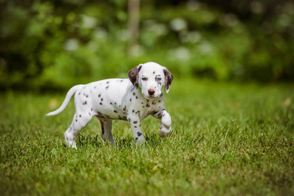 Dalmatiner Welpe im Gras