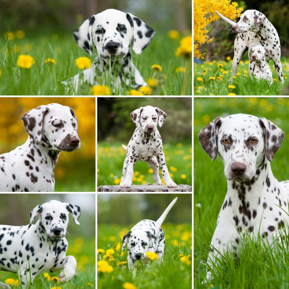 Dalmatiner - Collage
