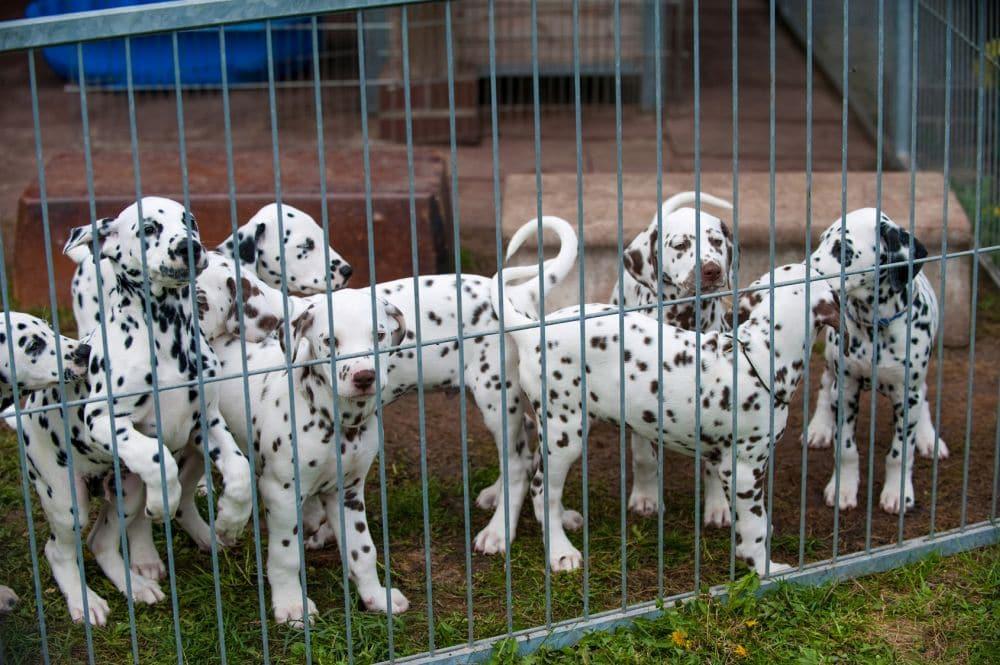 Dalmatinerwelpen vom Züchter