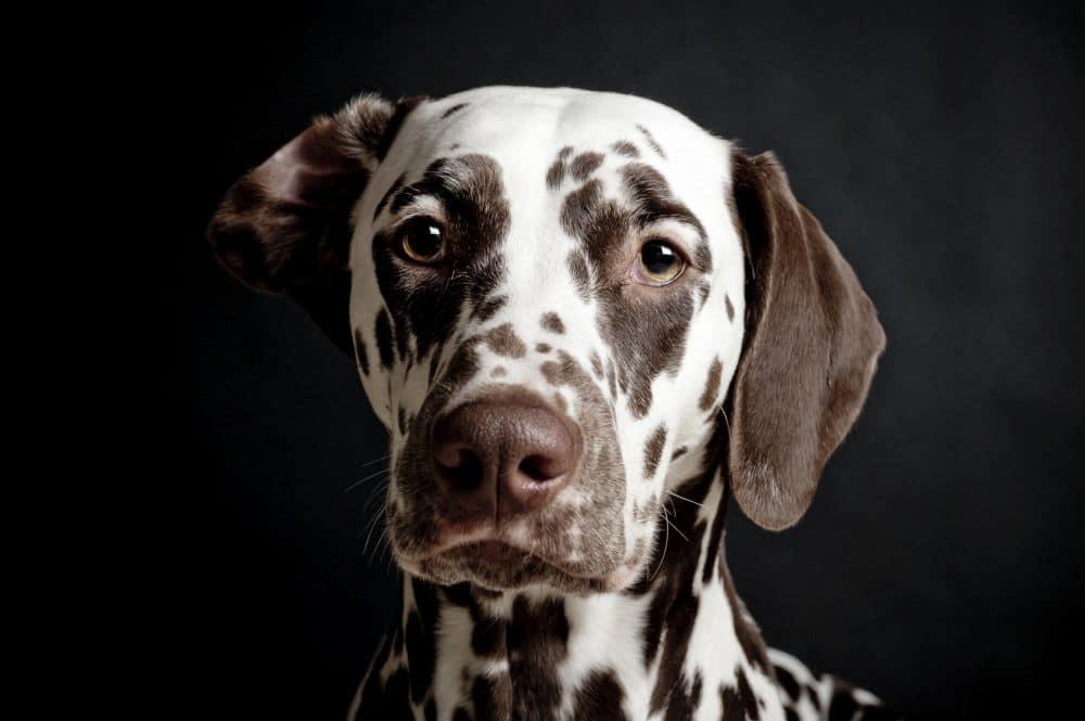 Dalmatiner Charakter und Wesen