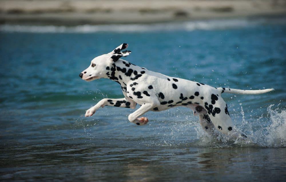 Wie viel Auslauf benötigt ein Dalmatiner?