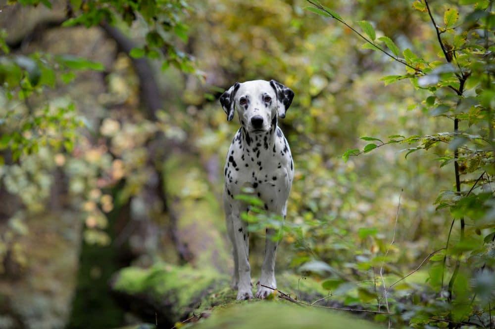 Dalmatiner Zecken Wald