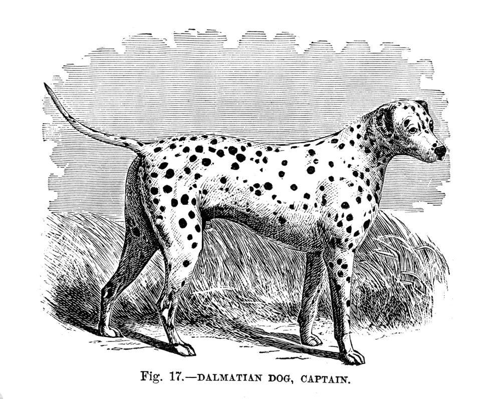 Zeichnung Dalmatiner