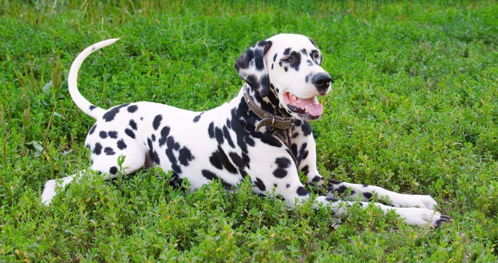Dalmatiner zu verschenken