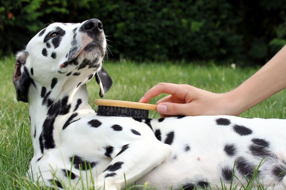 Dalmatiner Hund genießt die Fellpflege mit Bürste draußen