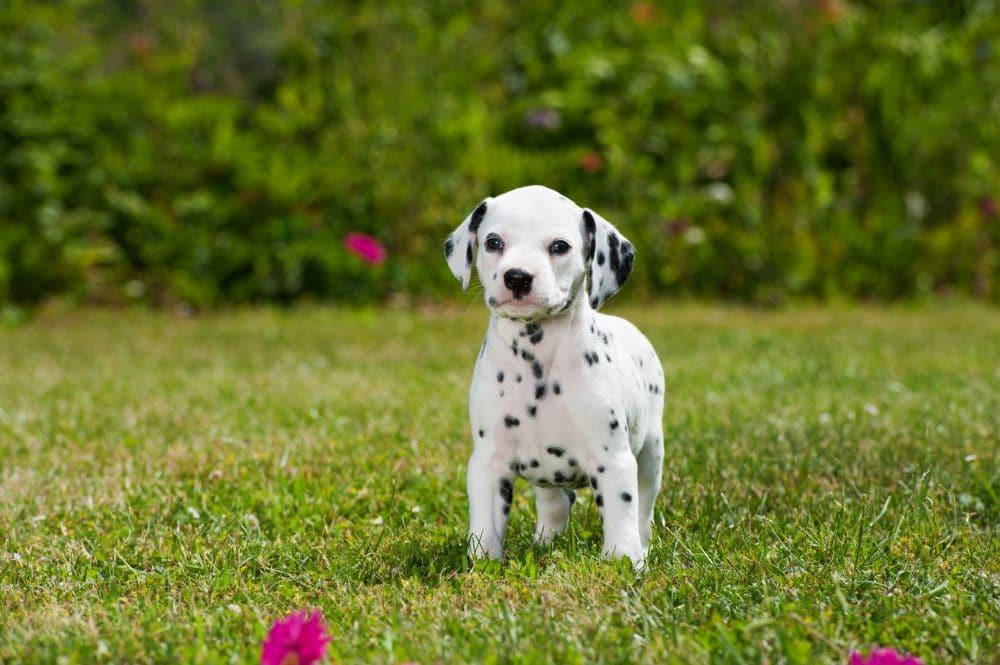 Zuchtziel gesunde Dalmatiner Welpen