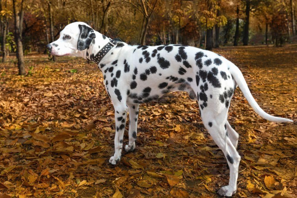 Ist mein Dalmatiner zu dick?
