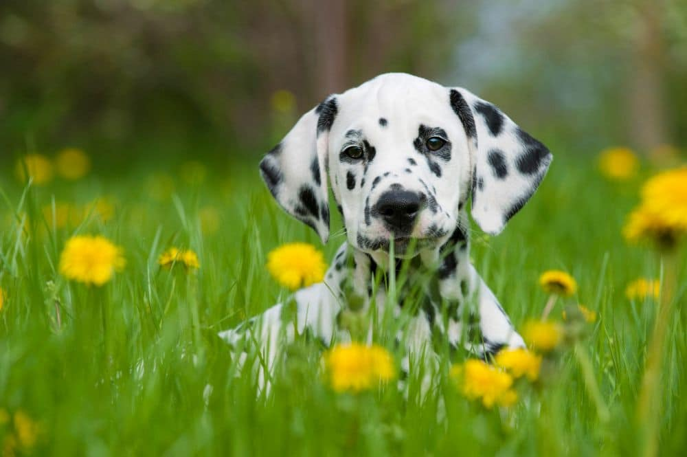 Dalmatinerwelpe Lebenserwartung
