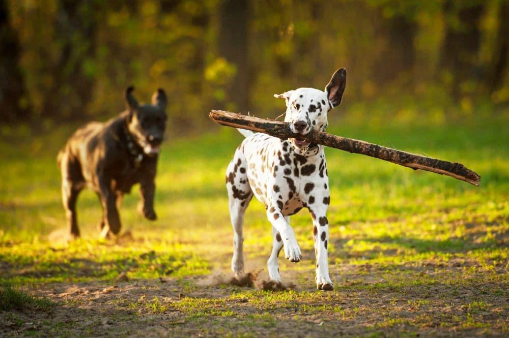 Dalmatiner spielt mit Stöckchen. Verletzungsgefahr!