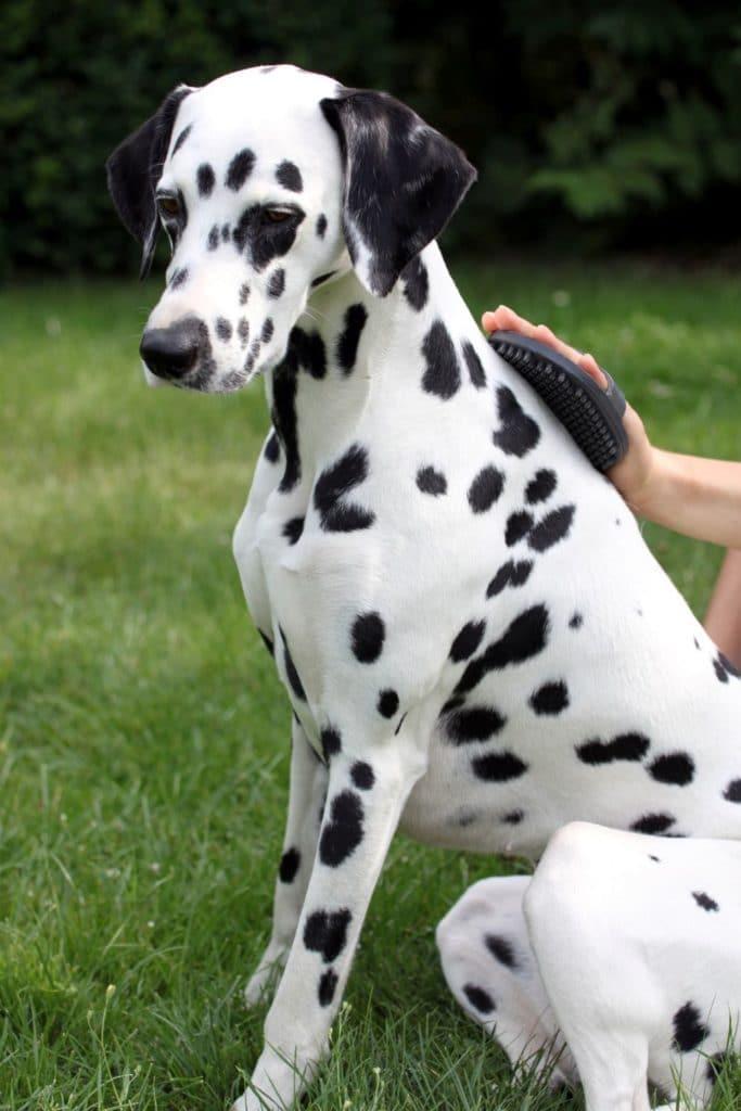 Dalmatiner Hund wird mit Gummistriegler das Fell gepflegt